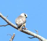 Pearl Kite - Gampsonyx swainsonii