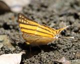 Amber Daggerwing - Marpesia berania