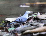 Blue Ground-Dove - Claravis pretiosa
