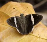 Twin-spot Banded Skipper - Autochton bipunctatus
