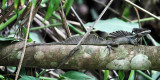 Brown Basalisk - Basiliscus vittatus
