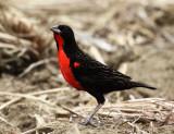 Red-breasted Blackbird - Sturnella militaris (male)