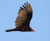Turkey Vulture - Cathartes aura