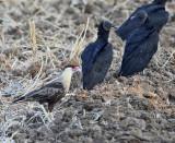 Crested Caracara & Black Vultures