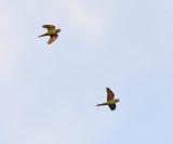 Crimson-fronted Parakeets - Psittacara finschi