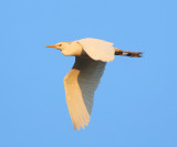 Cattle Egret - Bubulcus ibis (in the early morning light)