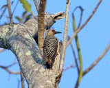 Red-crowned Woodpecker - Melanerpes rubricapillus