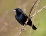 Blue-black Grassquit - Volatinia jacarina