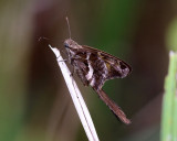 Blurry-striped Longtail - Chioides catillus albius