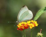 Great Southern White - Ascia monuste