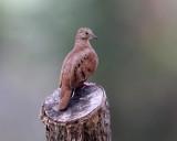 Ruddy Ground-Dove - Columbina talpacoti