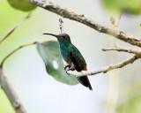 Costa Rica Hummingbirds