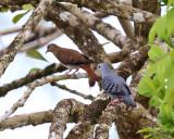 Blue Ground-Doves - Claravis pretiosa (male & female)