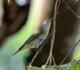 Tennessee Warbler - Oreothlypis peregrina