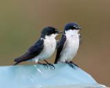 Mangrove Swallow - Tachycineta albilinea