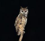 Striped Owl - Pseudoscops clamator