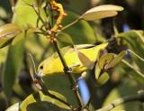 Scarlet Tanager - Piranga olivacea (female)
