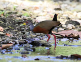 Gray-necked Wood-Rail - Aramides cajaneus