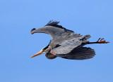 Great Blue Heron - Ardea herodias