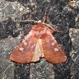 10994 - Reddish Speckled Dart - Cerastis tenebrifera
