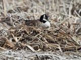 Canada Goose - Branta canadensis (on nest)