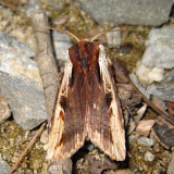 9874 - Dot-and-Dash Swordgrass - Xylena curvimacula