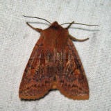 9935 - Three-spotted Sallow - Eupsilia tristigmata