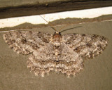 6599 - Tulip-tree Beauty - Epimecis hortaria