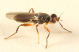 Elachiptera longiventris