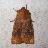 9933 - Straight-Toothed Sallow - Eupsilia vinulenta