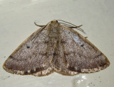 6668 – Gray Spring Moth – Lomographa glomeraria