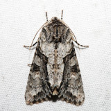 10518 - Distinct Quaker - Achatia distincta