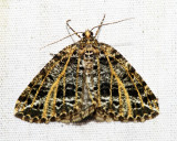 6430 - Yellow-veined Geometer - Orthofidonia flavivenata