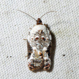 3510 – Snowy-shouldered Acleris – Acleris nivisellana