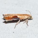 3257 - Pseudexentera costomaculana