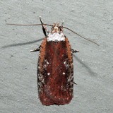 0857 – Agonopterix lythrella