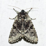 10007- Major Sallow - Feralia major