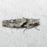1851 – Stripe-backed Moth – Arogalea cristifasciella