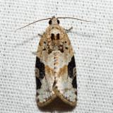 3625 - Gray-banded Leafroller - Argyrotaenia mariana