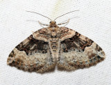 7390 – Toothed Brown Carpet – Xanthorhoe lacustrata