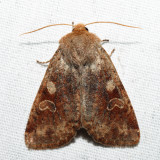 10487 - Ruby Quaker - Orthosia rubescens