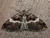 7329 – Variable Carpet Moth – Anticlea vasiliata