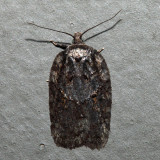 Acleris sp.