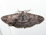 6582 - Large Purplish Gray - Iridopsis vellivolata