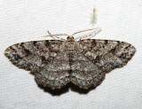 6570 – Four-Barred Gray – Aethalura intertexta