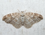 7428 – Brown-shaded Carpet Moth – Venusia comptaria