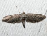 7530 - Eupithecia swettii (female)