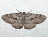 6584 - Small Purplish Gray - Iridopsis humaria