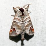 7895 - Sigmoid Prominent - Clostera albosigma