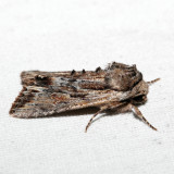 10520 - Bicolored Woodgrain - Morrisonia evicta